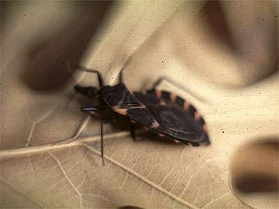 Kissing Bug - Tx Dept State Health Services