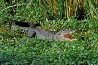 American Alligator - 3