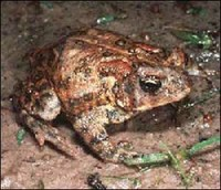 Houston Toad - 2