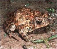 Houston Toad - 2