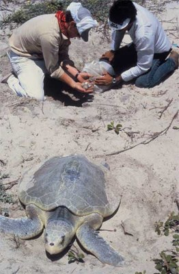 Men collecting turtle eggs as turtle moves awayy from next.
