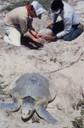 Sea Turtle's Eggs