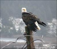 Bald Eagle - Kodiak, Alaska