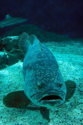 gordon grouper large
