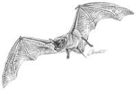 Mx_Freetail_Bat.jpg