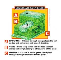 Anatomy of a Leaf