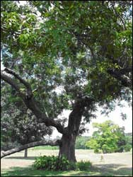 Pecan Tree - Deciduous