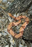 snake_copperhead400h.jpg