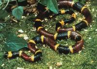 snake_coral400.jpg