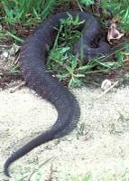 snake_cottonmouth400h.jpg
