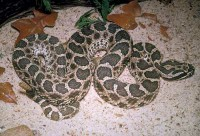 snake_massasauga400.jpg