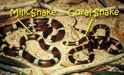 snake_milk_coral400.jpg