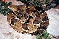 snake_timber_rattlesnake400.jpg