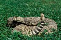snake_westerndiamondback400.jpg