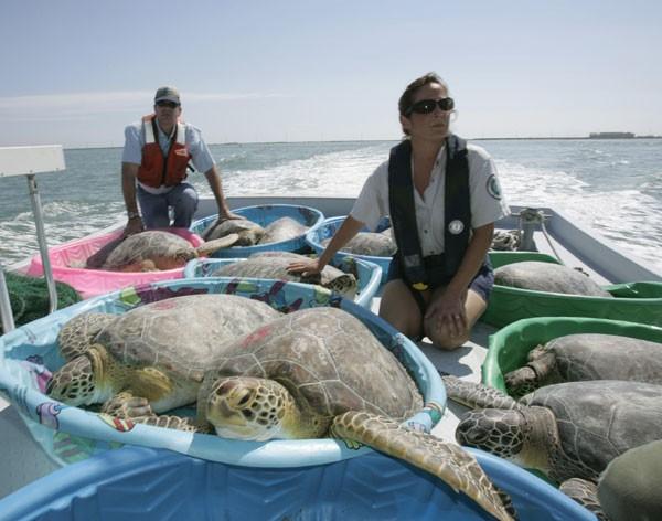 green_sea_turtle_transport.jpg