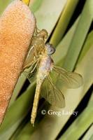 dragonfly9.jpg