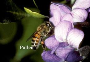honeybee_pollen200h.jpg
