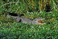 Brazos Bend SP American Alligators