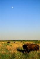 Bison landscape.jpg
