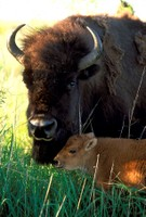 Bison_baby closeup.jpg