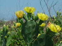 4-28-06_prickly_pear_cactus_flower044.jpg
