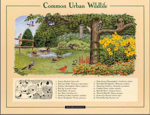 Texas Urban Wildlife Poster