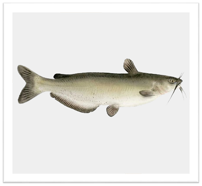 nf-channel-catfish.png