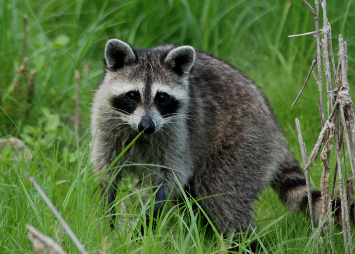 My Meeting With A Racoon Texas Parks Amp Wildlife Department