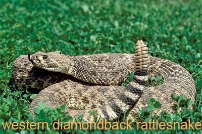 Western Diamondback