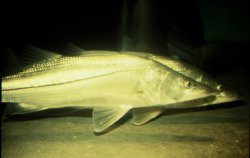 two snook swimming underwater