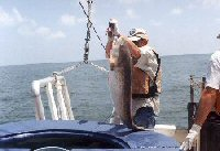 bull red drum that was caught on a longline and put into live well