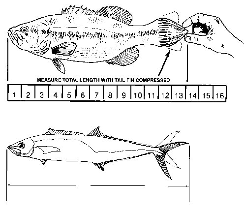 Diagram showing how to measure fish