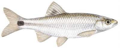 Blacktail shiner cyprinella venusta for Alabama game and fish regulations