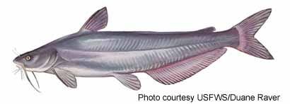 Catfish meaning slang