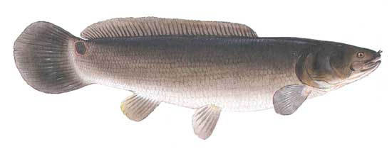 Bowfin And Dogfish