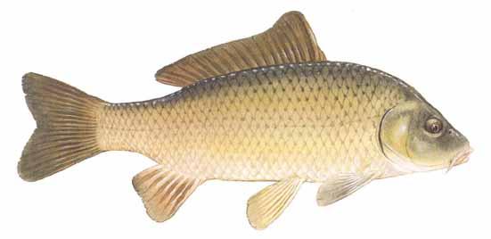 Common carp cyprinus carpio for Carp fish pictures