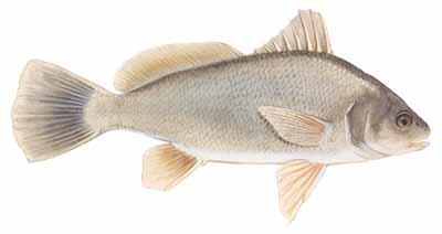 Freshwater drum aplodinotus grunniens for Texas freshwater fish limits