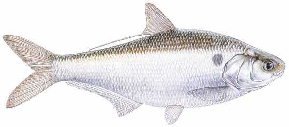 fresh bait analysis Use of brodifacoum bait is proposed, particularly through aerial application  in  extensive fresh water monitoring at maungatautari, or in fresh water samples from  little barrier island  landcare research brodifacoum analyses used hplc.