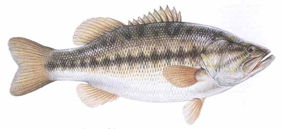 Largemouth Bass Micropterus Salmoides
