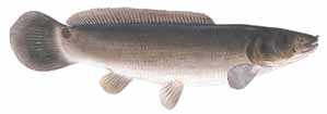 Drawing of Bowfin (Amia calva)