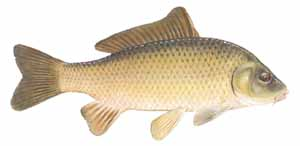 Drawing of Common Carp (Cyprinus carpio)