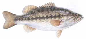 Drawing of Largemouth Bass (Mircopterus salmoides)