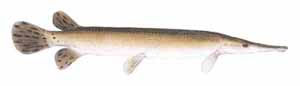 Drawing of Shortnose Gar (Lepisosteus platostomus