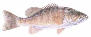 Drawing of Smallmouth Bass (Micropterus dolomeiu)