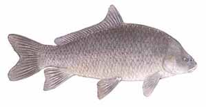 Drawing of Smallmouth Buffalo (Ictiobus bubalus)