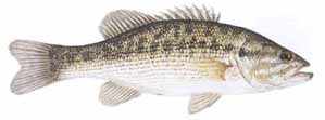 Drawing of Spotted Bass (Micropterus punctulatus)
