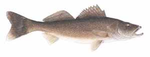 Drawing of Walleye (Stizostedion vitreum)