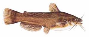 Drawing of Yellow Bullhead (Ameiurus natalis)