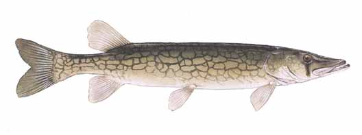 how to catch chain pickerel
