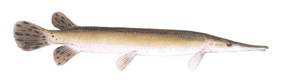 Shortnose Gar Lepisosteus Platostomus